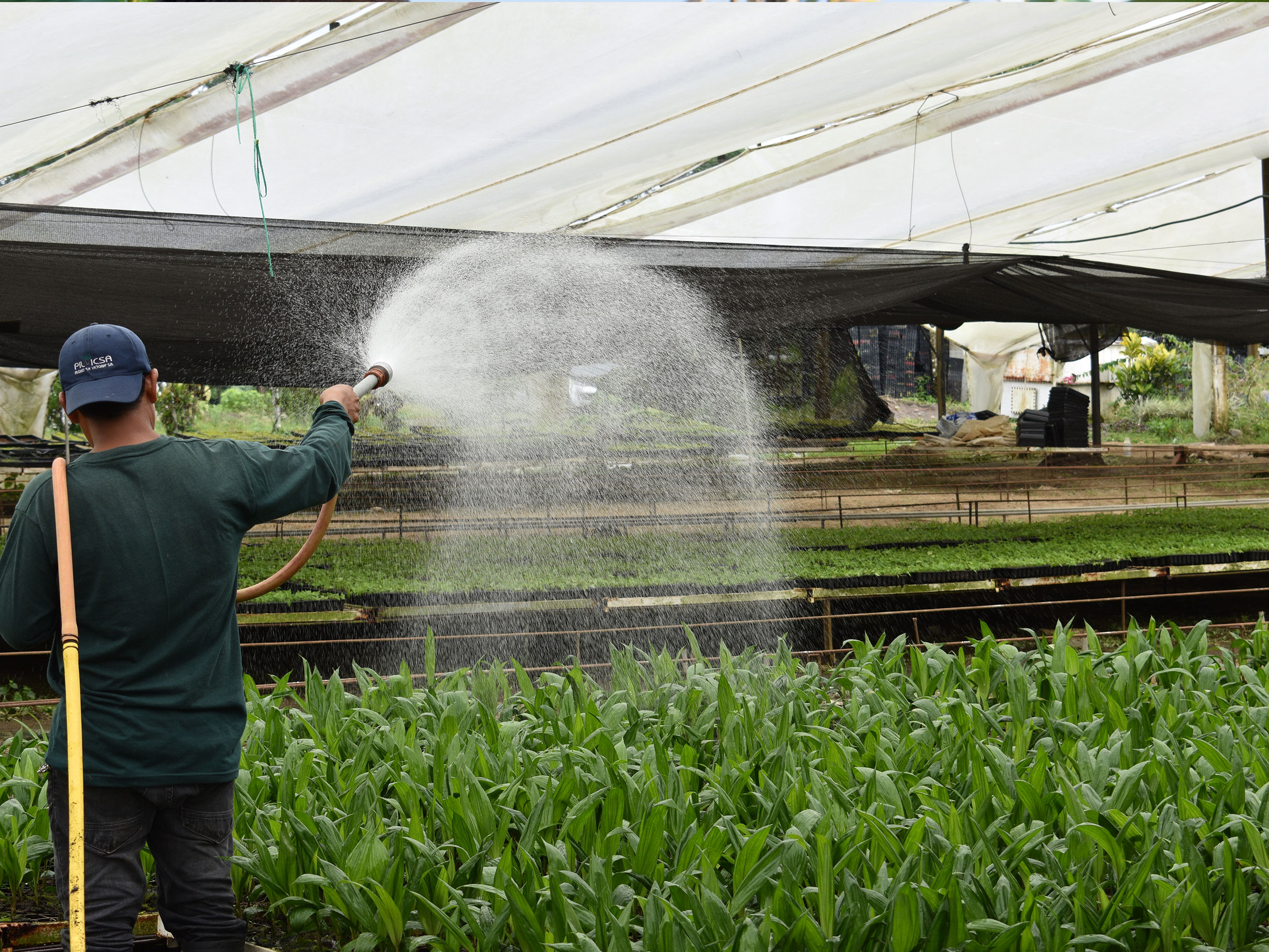 Watering organic seedlings for smallholder farmers supported by social impact investing in Latin America